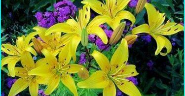 Vi odlar liljor: plantering och underhållskrav + hemligheter trädgårdsmästare